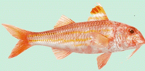 Tekir Balığı